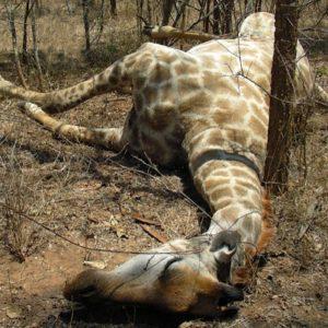 Poached Giraffe Carcass